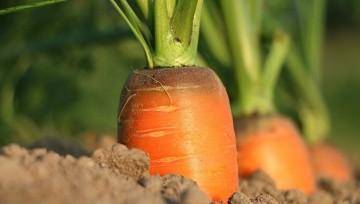 Por Que La Zanahoria Es Tan Vital En Tu Alimentacion Mundo Sano Noticias E Informacion Para Un Estilo De Vida Saludable La zanahoria es un alimento que contienen 1,25 gramos de proteínas, 6,90 gramos de carbohidratos, 6,90 gramos de azúcar por cada 100 gramos y no tienen grasa, aportando 39,40 calorias a la dieta. por que la zanahoria es tan vital en tu